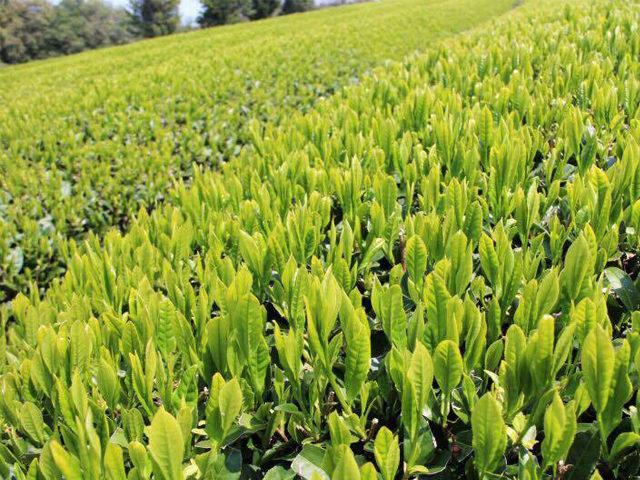 有機緑茶と紅茶の生産販売「如春園」