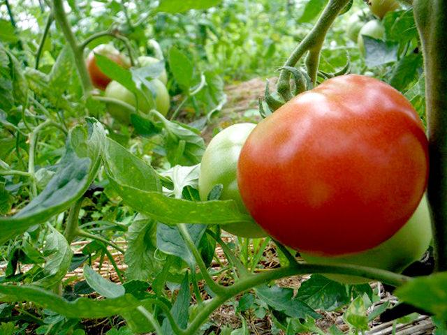 食べたら本当に美味しい野菜作りを目指す「なんくる農園」